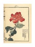 Chinese Hibiscus  Hibiscus Rosa-Sinensis