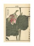 Japanese Lady's Slipper Orchid  Cypripedium Japonicum