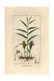 Ginger Plant  Zingiber Officinale