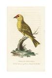 American Yellow Warbler  Setophaga Petechia