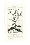 Curly Leaved Tobacco  Nicotiana Plumbaginifolia