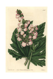 Parsnip-Leaved or Starleaf Begonia  Begonia Heracleifolia