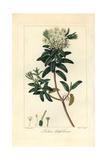 Bog Labrador Tea Tree  Rhododendron Groenlandicum