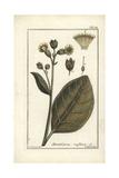 Mapacho Tobacco  Nicotiana Rustica