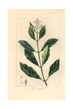 Black Ironwood or Olive Tree  Olea Capensis  Native to Africa