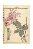Spider Azalea  Rhododendron Macrosepalum