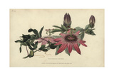 Whitley's Hybrid Passionflower  Passiflora Caerulea-Racemosa