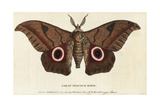 Great Peacock Moth  Saturnia Pyri