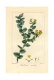 Aspalathus Crenata  Native to South Africa
