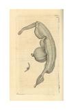 Sea Snail  Pterotrachea Coronata
