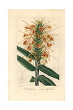 Narrowleaf Ginger  Hedychium Angustifolium