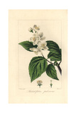 Hoary Mock Orange  Philadelphus Pubescens