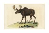 Elk  Cervus Canadensis