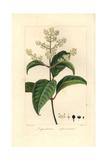 Japanese Privet  Ligustrum Japonicum