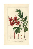 Pink Azalea  Rhododendron Nudiflorum