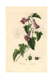Creeping Snapdragon or Chickabiddy  Maurandya Scandens