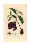 Bigflower Pawpaw Tree  Asimina Obovata  Native to America