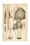Shaggy Ink Cap and Common Ink Cap Mushroom