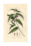 Chinese Fairy Bells  Disporum Cantoniense  Native to China