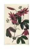 Crimson Passionflower  Passiflora Kermesina