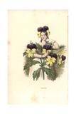 Pansy Flower Fairy  Viola Tricolor