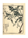 Spanish Jasmine  Jasminum Grandiflorum