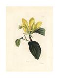 Cucumbertree or Blue Magnolia  Magnolia Acuminata