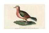 Common Emerald Dove  Chalcophaps Indica