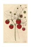 Grove-End Scarlet Strawberry  Fragaria X Ananassa