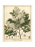 Diesel or Kerosene Tree  Copaifera Langsdorffii
