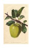 Sugar-Loaf Pippin Apple  Malus Domestica