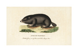 Cape Dune Mole Rat  Bathyergus Suillus