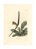 Bird's Nest Anthurium  Anthurium Hookeri