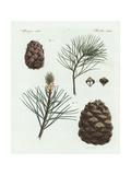 Swiss Pine or Arolla Pine  Pinus Cembra  and Stone Pine  Pinus Pinea