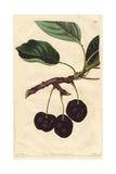 Black Tartarian Cherry  Prunus Avium