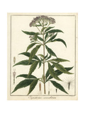 Hemp Agrimony  Eupatorium Cannabinum