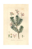 Bushy Triggerplant  Stylidium Glandulosum