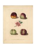 Nectarine Varieties  Prunus Persica