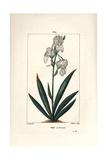 Florentine Iris  Iris Florentina