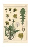 Dandelion Botanical Study