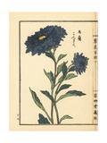 Kongiku or Japanese Aster  Aster Ageratoides