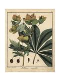 Lenten Rose or Oriental Hellebore  Helleborus Orientalis