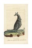 Eastern Grey Kangaroo  Macropus Giganteus