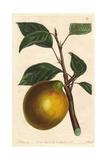 Lemon Pippin Apple  Malus Domestica
