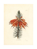 Great Flowered Heath  Erica Grandiflora