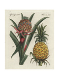 Pineapple Flower and Fruit  Ananas Comosus