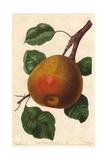 Gansel's Bergamot Pear  Pyrus Communis