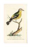 Yellow Rumped Warbler  Setophaga Coronata