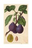 Imperatrice Plum  Prunus Domestica