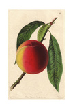Bellegarde or Galande Peach  Prunus Persica